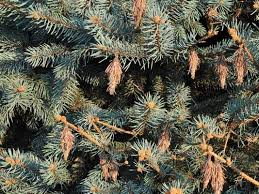 Bagworm on Spruce Tree